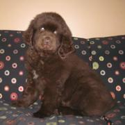 Pretty brown newfoundland puppy image.JPG