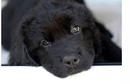 The newfoundland puppy in black looking at the camera with a cute and sad look.JPG