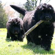 Two black Newfoundlander puppies playing.JPG