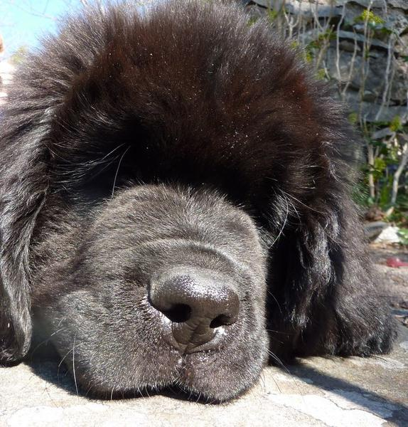 Very close up picture of Newfoundlander puppy.JPG