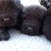 Very cute Newfoundland puppies in dark brown looking at the camera.JPG