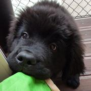 Very young Newfoundlander puppy face bitting on the green bag.JPG