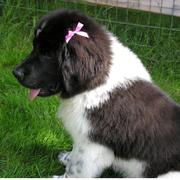 White and black newfoundland pup looking so cute.JPG