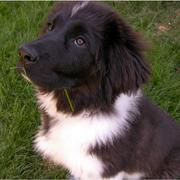 White and black newfoundlander pup.JPG