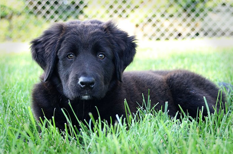 Young newfoundland puppy in pure black on laying on the grass.JPG