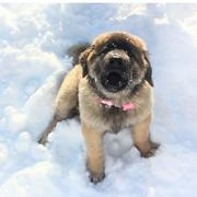 13 weeks old newfoundland puppy on the snow.JPG