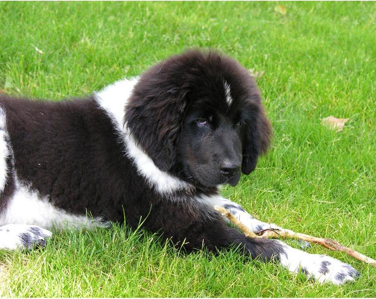 Black and white newfoundland pup on the grass.JPG