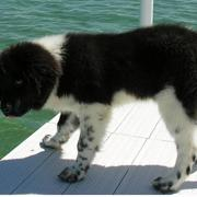 Black and white newfoundland puppy photo.JPG