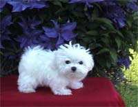 maltese pup in the garden.jpg