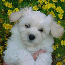 maltese pup on the flowers.jpg