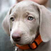 Weimaraner Puppies Picture Gallery
