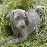 Weimaraner Puppy on the long grass bed.PNG