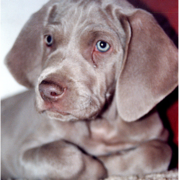 Weimaraner Puppy photo.PNG