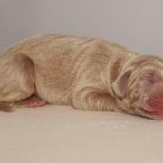 young weimaraner mix puppy photo.PNG