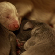 Young weimaraner puppies.PNG