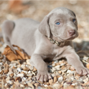 Beautiful Weimaraner Puppy with very pretty blue eyes.PNG