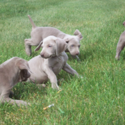 Big group of Weimaraner Puppies playing on the grass.PNG