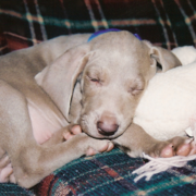 blue weimaraner puppy sleeping next to its toy.PNG