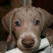 Close up picture of a Rockville Weimaraners puppy looking straight at the camera.PNG