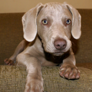 Cute weimaraner puppy pictures.PNG