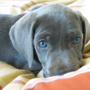 Dark chocolate Weimaraner Puppy with beautiful blue eyes looking at the camera.PNG