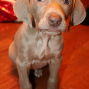 Image of weimaraner puppy.PNG
