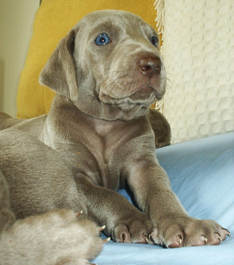 Images of weimaraner puppy breeder with beautiful blue eyes.PNG