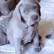 Photo of a weimaraners puppy.PNG