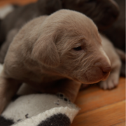 Photo of young weimaraner puppies.PNG