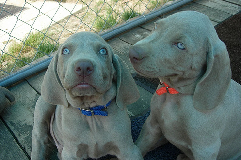 Pix of weimaraner puppies breeders.PNG