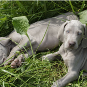 Two Weimaraner Puppy laying on the grass with each other taking sun bath.PNG