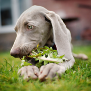 Weimaraner Puppy eating veges.PNG