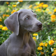 Weimaraner Puppy in nature photos.PNG