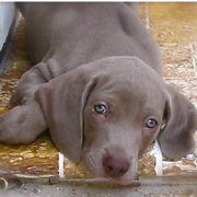Weimaraner Puppy looking straight to the camera.PNG