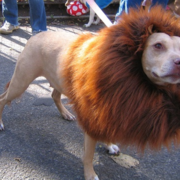 Pet Lion King costume pictures.PNG
