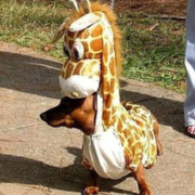 Dog halloween costume picture.PNG