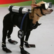 Funny picture of dog custome with a Chihuahua as a scuba diver.PNG
