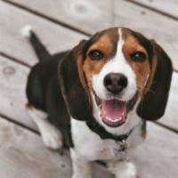 Beagle pup with funny face.jpg