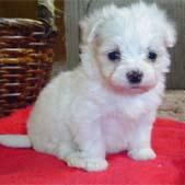 maltese pup_young and cute.jpg