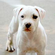 American Bulldog Picture Gallery