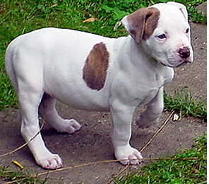 Image of american bulldog terrier.PNG