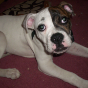 mini american bulldog puppy pictures.PNG