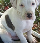 Photo of american bulldog terrier pup.PNG