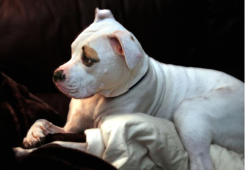 Photo of puppy american bulldog pitbull dog.PNG Hi-Res 720p HD
