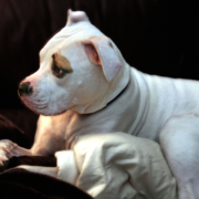 Photo of puppy american bulldog pitbull dog.PNG