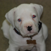 Photo of puppy of american boxer bulldog  in white.PNG