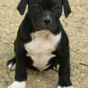 Picture of black american bulldog puppy with white stomach.PNG