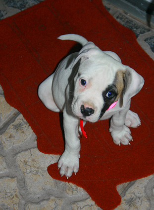 Pictures of American bulldog breeder.PNG