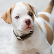 Tan and white american bulldog boxer puppy photo.PNG
