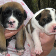Two american bulldog puppies pictures.PNG